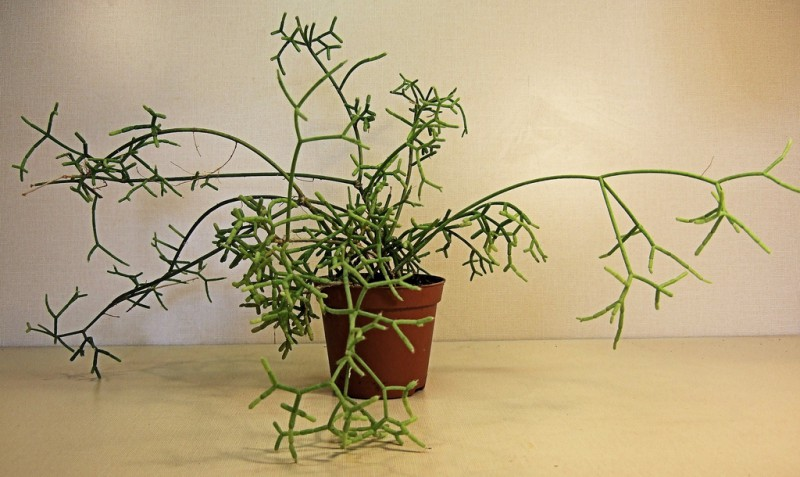 photo credit: Rhipsalis baccifera via photopin (license)