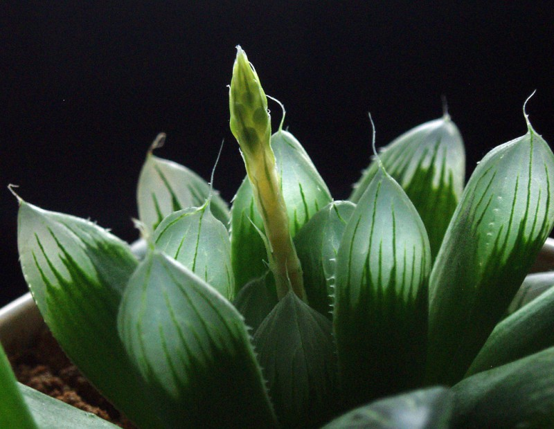 photo credit: Haworthia - Backlight via photopin (license)