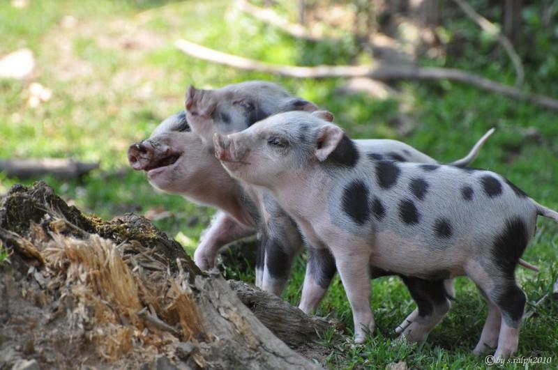 photo credit: Die drei Schweinchen via photopin (license)
