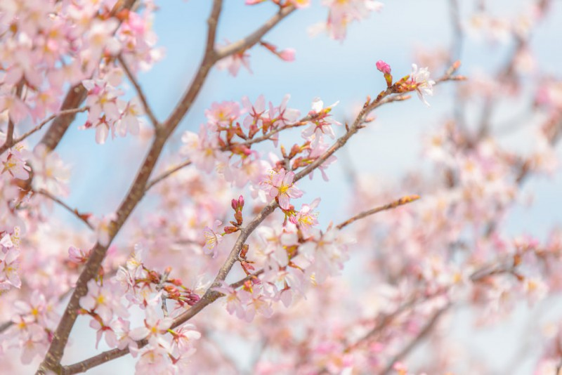photo credit: Cherry Blossom via photopin (license)