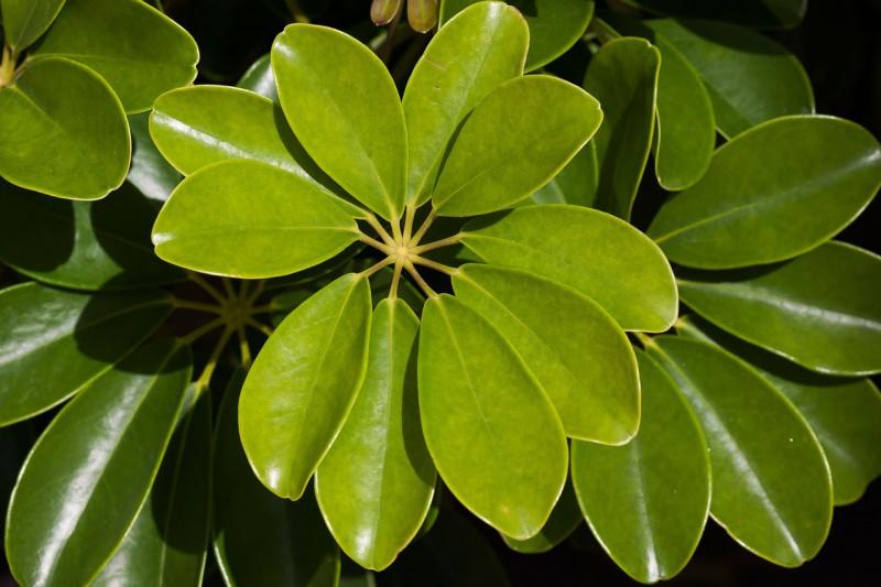 schefflera-heptaphylla-572501_1280