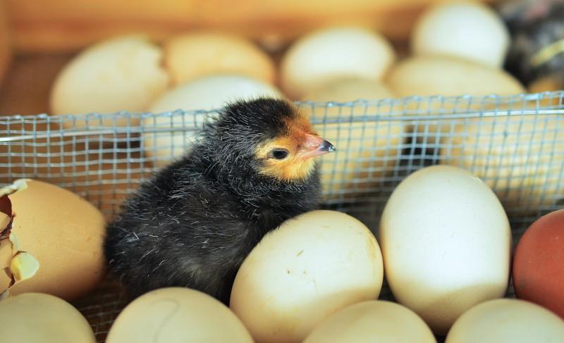 chicks-1280732_1280